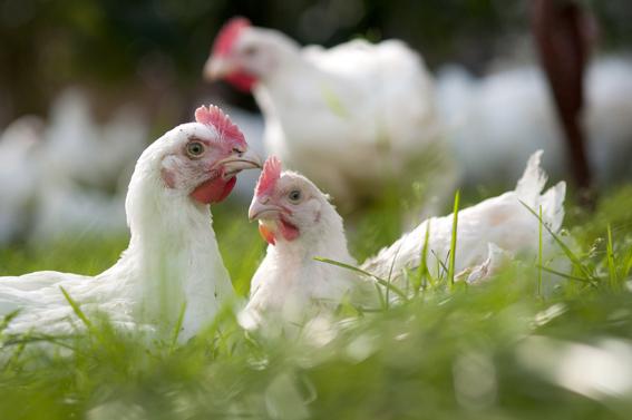 Boerencamping met kippen
